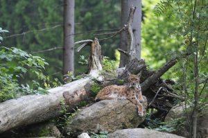 Bayerwald Tierpark Lohberg am Grossen Arber